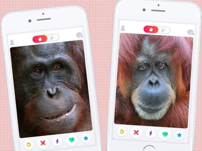 tinder-for-orangutan