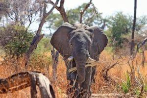 elephant-animal-proboscis-safari-46507