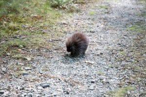nature-animals-porcupine-hiking-139378