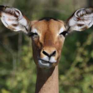 impala staring at teh camera with a twitching eye